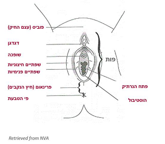 איור אנטומיה של פות
